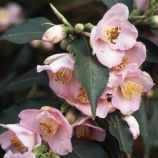 Camellia 'Baby Bear', or could use Camellia 'Quintessence' (a very pale pink flower). Dwarf growing/groundcover camellia. Grows approximately 50cm tall and can be trimmed to shape or kept at the height required. Will work well with the existing camellia in this garden and in other parts of the garden.