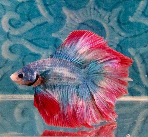 #5 Thai Import Fancy Red White Blue Male DT Doubletail Betta Splenden Live Fish https://t.co/sfDQHYmQs0 https://t.co/C6S56oFmHd