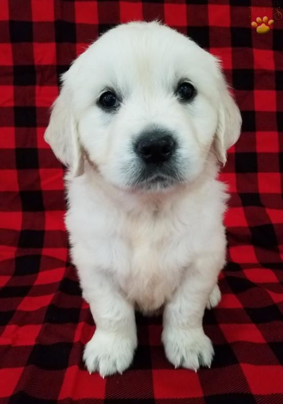 Golden Retriever Puppies For Sale In Palmdale Ca