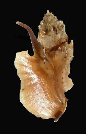 TYPHINELLUS OCCLUSUS