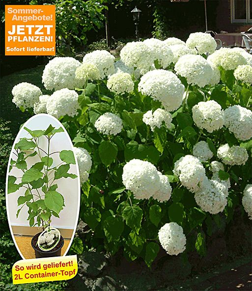 Schneeball Hortensie Annabelle 1a Qualitat Baldur Garten Pflanzen Schneeball Pflanze Hortensien Garten