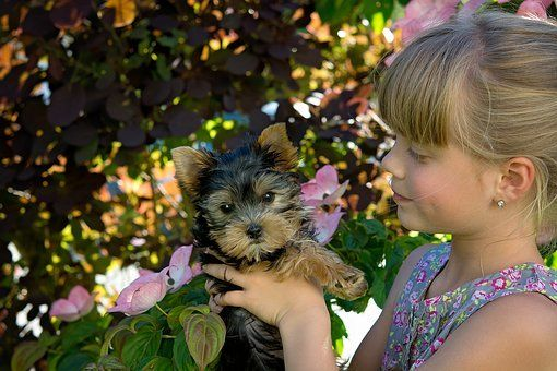 How To Teach Your Kids To Play With Your Yorkie In 2020 Teacup Yorkie Puppy Training Your Dog Yorkie Puppy For Sale