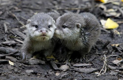 Baby otters!