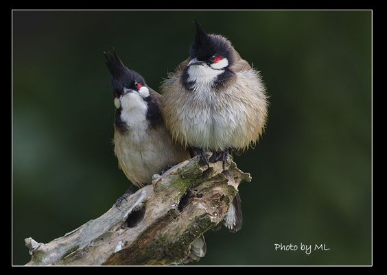 """Red-whiskered bulbuls are a """"living experiment"""" that are teaching us a little about the speed at which evolution can occur. For example, they were accidentally introduced to the island of Réunion and now are thriving in two climatically and ecologically contrasting habitats located on the windward and leeward sides of the island. A fascinating field study was published in 2007 that found very rapid morphological divergence, particularly in these birds' bill size, had occurred in fewer than…"""