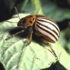 Potato Beetle Control