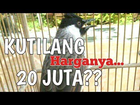 Kutilang 20 Juta Tonton Anda Harus Nilai Sendiri Youtube Burung Hewan