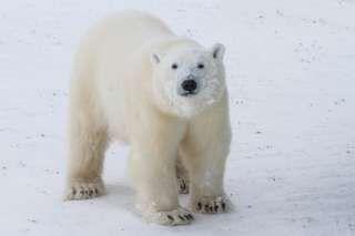 Image copyright                  Thinkstock Image caption                                      Los osos polares son especies protegidas                                En la remota isla ártica de Troynov, en el sur del Mar de Kara, cinco investigadores llevan dos semanas atrapados debido a un asedio animal. Se trata de diez osos polares adultos y cuatro cachorros que no los dejan salir ni de día ni de noche. Ya no les quedan las luces de eme