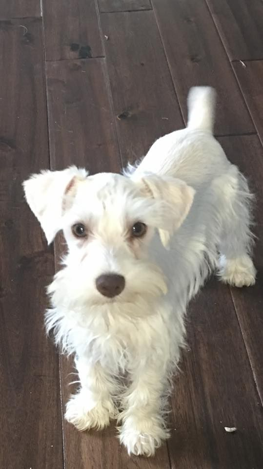 Our Newest Baby White Schnauzer Schnoodle Dog White Miniature