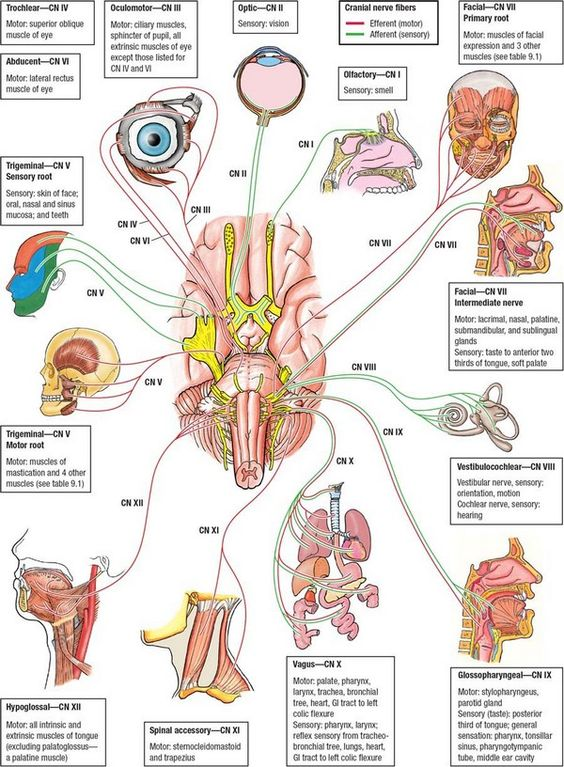 Auditory nerve anatomy