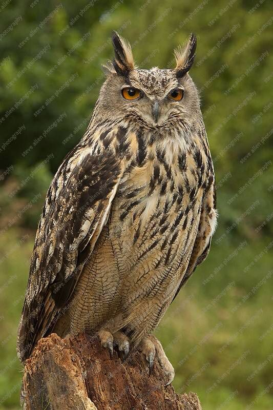 Stunning European Eagle Owl
