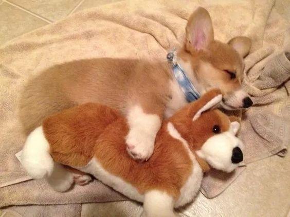 ぬいぐるみを抱いて眠るかわいい子犬