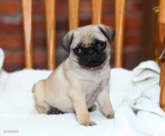 Pug Puppy for Sale in Pennsylvania Pugs Pinterest