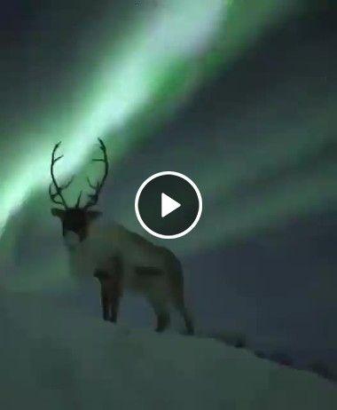 Rena e a aurora boreal