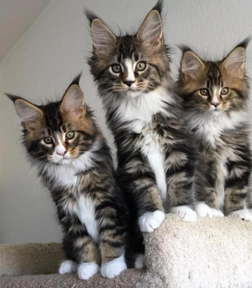 Pin On Cute Kittens Become Cats That Make A Mess