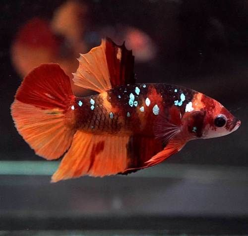 Live Betta Fish Fancy Halfmoon Plakat Hmpk Male Pet Fish Betta Fish