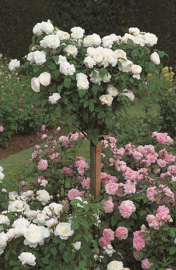 Плачещи или щамбови рози