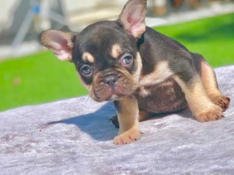 Don Frost French Bulldog Puppies French Bulldog Puppies Puppies