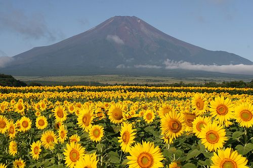 Beautiful field of sunflowers with Mt Fuji in the background #japan