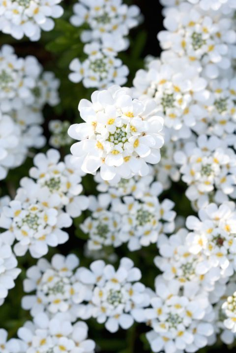 Autumn Varieties Of Candytuft Bloom Twice Once During The Spring And Again In The Late Autumn Plant The Low P Fall Flowers Garden Fall Plants Autumn Garden