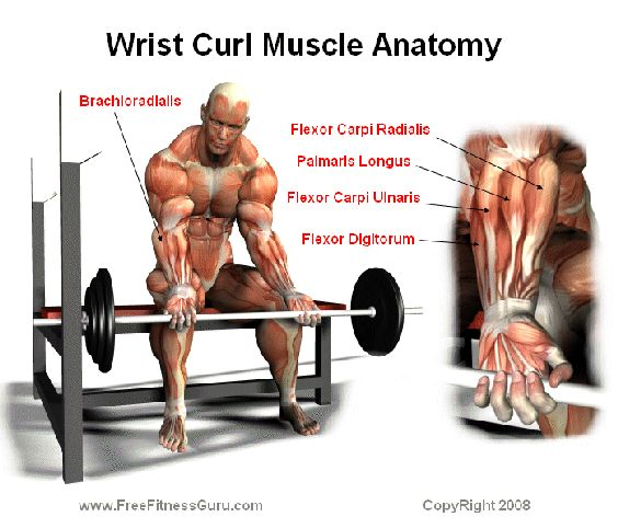 Barbell Curl Anatomy: Muscle Anatomy, Anatomy And Curls On Pinterest