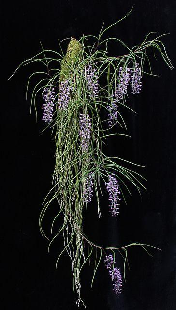 Schoenorchis buddleiflora - Flickr - Compartilhamento de fotos! Esta espécie graciosa vem de Sumatra e Bornéu.  flickr POR Steve Beckendorf: