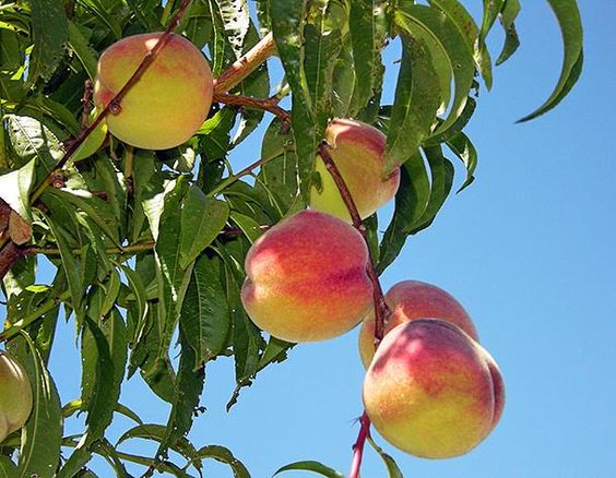 Good Fruit Trees For Backyard : Fruit trees, Fruit and How to grow on Pinterest
