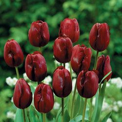 Tulip Jan Reus | Parkers Wholesale
