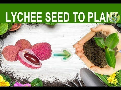 Lychee Seed Germination How To Grow Lychee Plant From Seed Germinate Litchi Youtube How To Grow Lychee Lychee Seeds Dwarf Fruit Trees