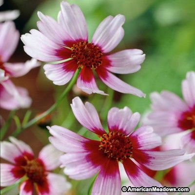 Coreopsis Sweet Dreams is a stunning bi-colored hybrid created from our native pink species. White petals with a raspberry center becomes more vibrant as the season progresses.