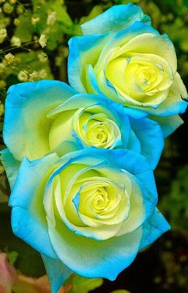 Blue and yellow rose:
