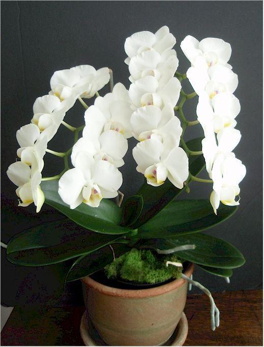 Pin Di Javara Orchid