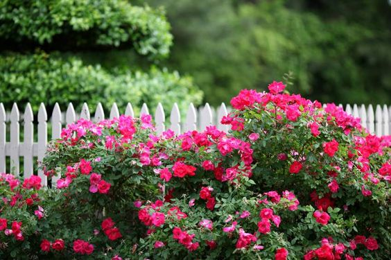 Double Knockout Roses probably sound familiar to you because ever since they were introduced in 2000 they spread like wildfire all over the country. They spread faster throughout neighborhoods than chicken pox in a kindergarten…