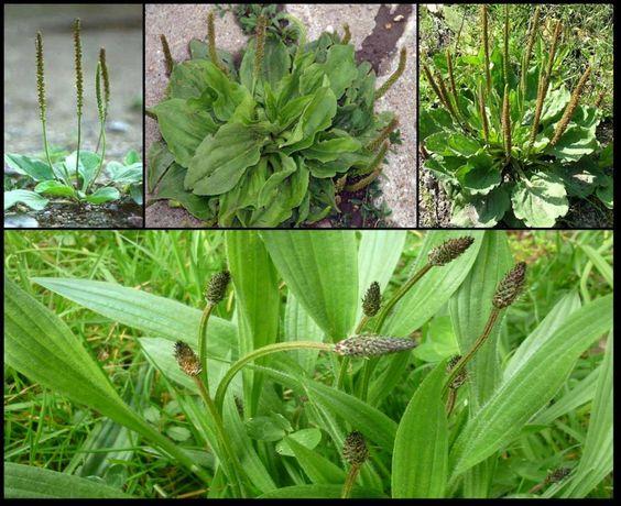 Le plantain cette mauvaise herbe est l 39 une des plantes for Plante utile
