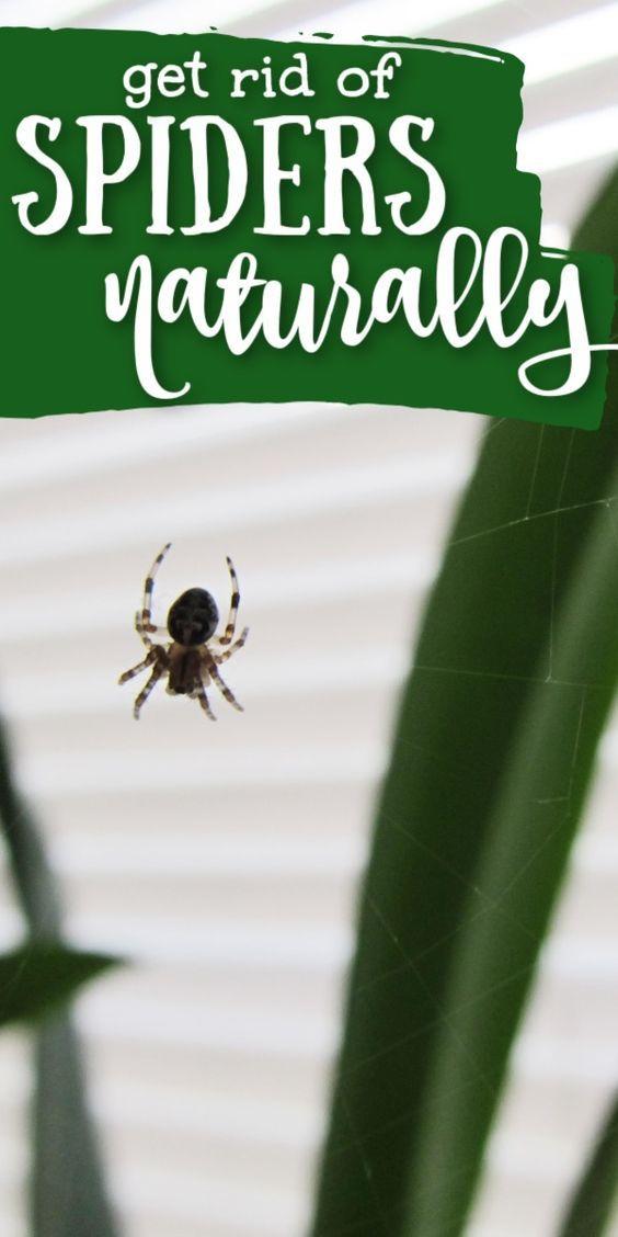 f0573119ac14e6450ef9c88030f1b9e8 - How To Get Rid Of A Spider Infestation Outside