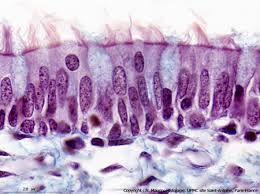 épithélium pseudo-stratifié avec kinocils: épithélium respiratoire.