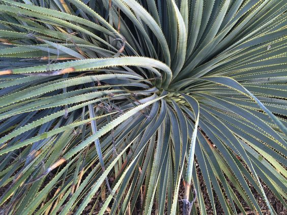 Giant agave at Griffith Park / Darker than Green
