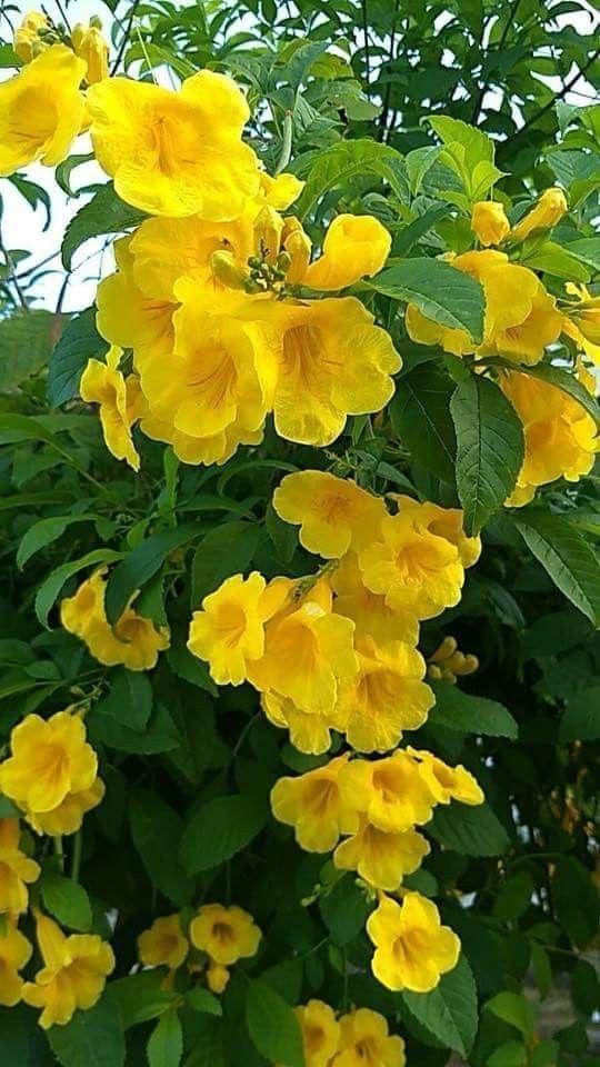 Rampicante Fiori Gialli.Pin Di Cinzia Su Flowers Rose Rampicanti Fiori E Piante