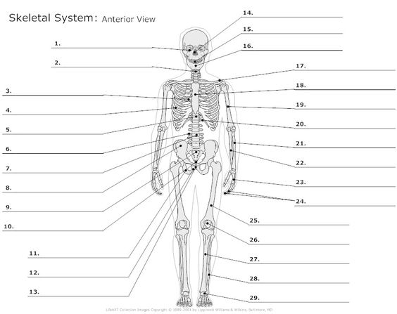 Anterior View of the Skeletal System Unlabeled Example - SmartDraw ...