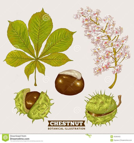 Ilustração botânica do vetor da castanha da flor                                                                                                                                                                                 Mais