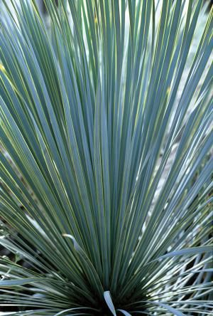 Yucca rostrata, also called Beaked Yucca.  Treelike plant native to west Texas and northern Mexico, it can reach 12-15 feet.