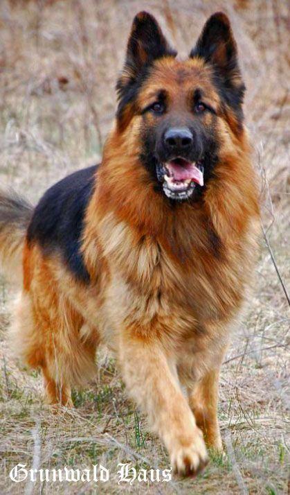 Obtain Terrific Ideas On German Shepherd They Are Actually On Call For You On Our Website Schaferhunde Deutsch Schaferhunde Langhaar Schaferhund