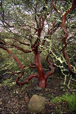 """The Manzanita is a native California plant often called """"mountain driftwood"""". Red bark with blue-green leaves. It's Spanish-origin name means """"little apple"""". The tree fruits a bright red berry that resembles a tiny apple."""