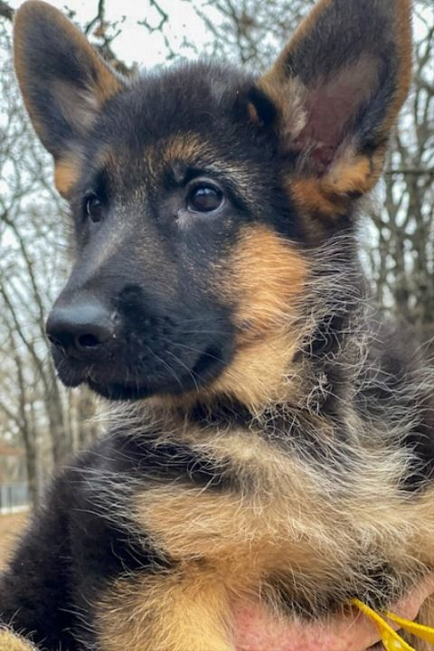 Kaiser German Shepherds Is Located In Paradise Tx 40 Miles From