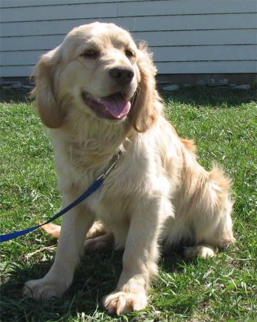 Golden Cocker Retriever, mix of golden retriever and dakota sport retriever, full grown they still look like a puppy! I want one!!!