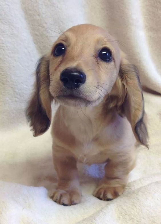 Adorable doxie - how sweet is that face!?!