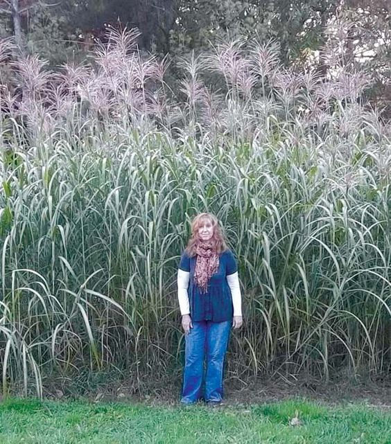 Growing up to 14 tall miscanthus giganteus grass works for Tall outdoor grasses