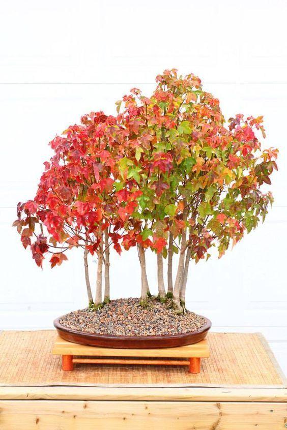 25 Acer Ginnala Amur Maple Seeds Excellent For Bonsai