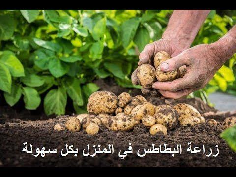 زراعة البطاطس في أكياس وأوعية بلاستيكية بكل سهولة في المنزل حتى الحصاد Aquaponics Aquaponics System Green Onions Growing