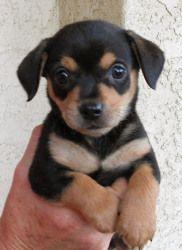 Mini North Scottsdale >> Cairn Terrier/German Pinscher Mix | Dogs | Pinterest | Miniature pinscher, Miniature and Terriers