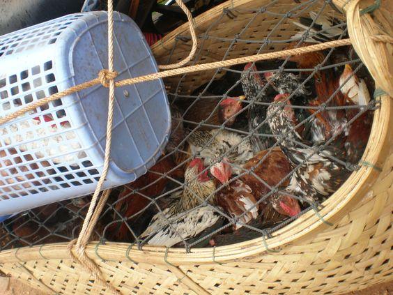 Chickens, Stung Treng, Cambodia